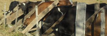 Produtores buscam alternativa ao milho para o gado