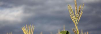 Cultivo de milho sofre com falta de chuva no Sudeste