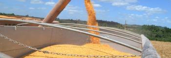Colheita do milho atinge 17% da área no RS